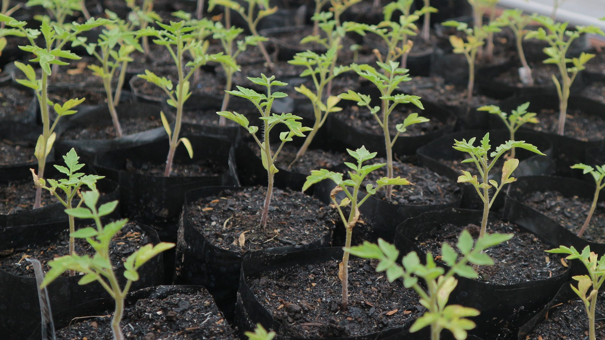 Seedlings sprouting.