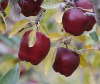 Happy Thoughts.Allard.photo.apples.jpg