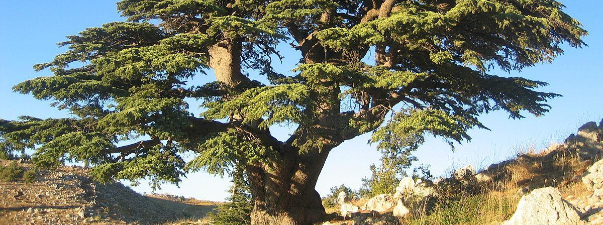 Cedar of Lebanon: 'Cèdre du Liban Barouk 2005' by Olivier BEZES. Licensed under CC BY 2.5 via Wikimedia Commons